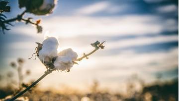 Le sac en coton: Du cotonnier à nos ateliers